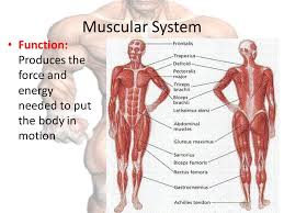 diagram of muscular system   aof comgallery of diagram of muscular system
