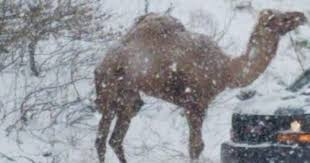 A <b>camel</b> showed up in Pennsylvania's snowstorm | PhillyVoice