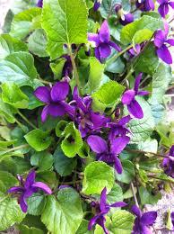 """Résultat de recherche d'images pour """"pelouse avec violettes"""""""