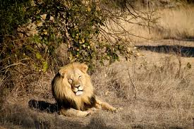 Image result for lion-hunters to instead protect the big cats IN MASAI