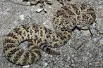 Images & Illustrations of speckled rattlesnake