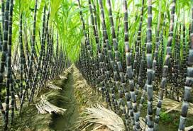 Image result for what does sugar cane look like
