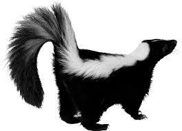 Image result for skunk images