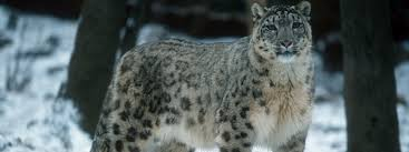 snow leopard species wwf snow leopard