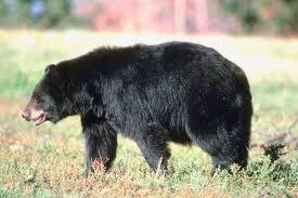 Resultado de imagem para urso negro