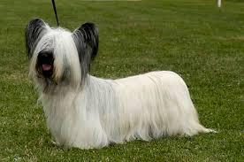 Ο σκύλος    Sky Terrier