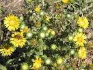 Images & Illustrations of gumweed