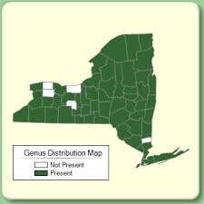 Oenothera - Genus Page - NYFA: New York Flora Atlas - NYFA: New ...