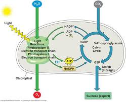 ideas about photosynthesis on pinterest   mitosis  ap        ideas about photosynthesis on pinterest   mitosis  ap biology and science