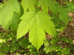 <b>Maple leaf</b> - Wikipedia