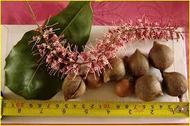 Macadamia flowers