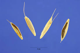 Plants Profile for Bromus arvensis (field brome)
