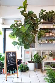 room plants x: samantha okazaki today home fiddle leaf fig tree sill today   cbddcadeeefdtoday inline large