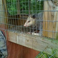 Quail House Plans Thwarted By Predator Possum   Film at