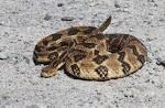 Images & Illustrations of canebrake rattlesnake