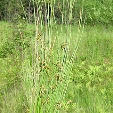 Juncus filiformis (thread rush): Go Botany