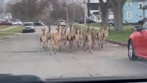Watch: Herd of <b>Deer</b> Roaming Through Empty Michigan Streets ...