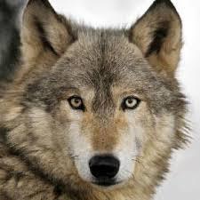 """Képtalálat a következőre: """"wolf"""""""