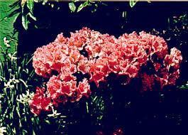QBARS - v30n2 American Rhododendron Society Plant Registry