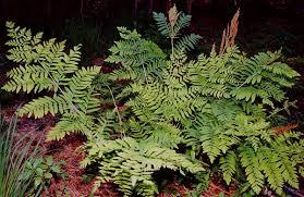 Osmundaceae - Wikipedia
