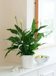 peace lily best low light office plants