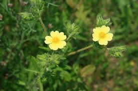Potentilla recta - Michigan Flora