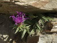 Centaurea uniflora, Singleflower Knapweed