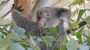 koalas their valentine at potoroo palace photos merimbula sapphire the koala