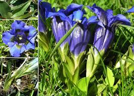 Gentiana acaulis L. - Sistema informativo sulla flora delle Alpi ...