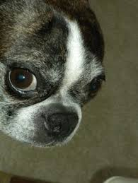 Image result for senior boston terrier