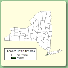 Juncus maritimus - Species Page - NYFA: New York Flora Atlas