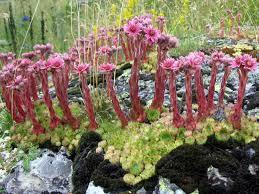 Sempervivum montanum - Mountain Houseleek | World of Succulents