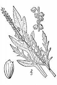 Western Ragweed (Ambrosia coronopifolia) | Idaho Fish and Game