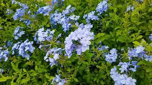 Blue Plumbago Plant (Plumbago auriculata) - Easy Caring Tips ...