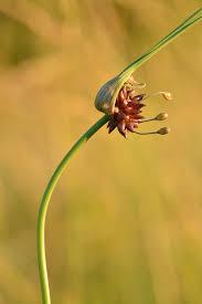 Allium oleraceum - Wikipedia, la enciclopedia libre