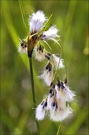 Broad-leaved Cottongrass (Eriophorum latifolium) · iNaturalist.org