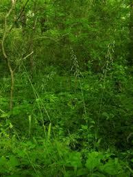 Milium effusum - Michigan Flora