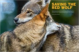 Image result for north carolina red wolf