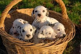les plus beau chiens Images?q=tbn:ANd9GcSbZ0I5RnfnPyLo34qXylCQdiw_u72MQku1tNfHkFkicls2S8Dd