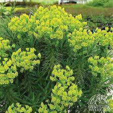 Plant Profile for Euphorbia wulfenii 'Shorty' - Evergreen Spurge ...