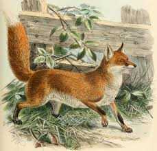 Image result for fox public domain