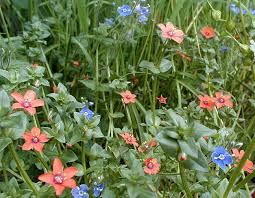 Image result for scarlet pimpernel flower