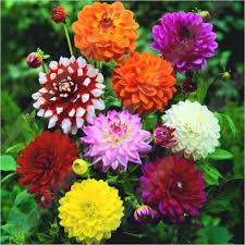 Seed in <b>Malaysia</b> 10 Particle Dahlia Seeds <b>Beautiful</b> Perennial ...