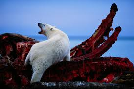 man stands in front of polar bears as they feast on the remains man stands in front of 12 polar bears as they feast on the remains of a whale harvest pics