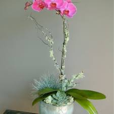 day orchid decor: view details next day delivery  kona pretty fuchsia phalaenopsis orchid with a succulent and moss at the base in a decor container middot escada
