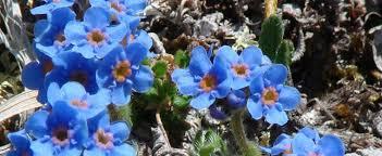 Alpine Forget-me-not Eritrichium nanum