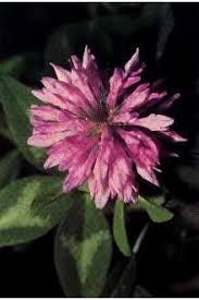 Plants Profile for Trifolium pratense (red clover)