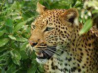 33 amazing Leopards of Kruger images | Leopards, Big cats ...