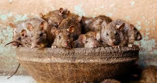 Image result for rat goddess