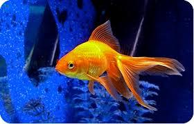 <b>Золотые рыбки</b>, фото, уход за золотой рыбкой, содержание ...